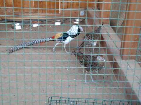 Ижевский зоопарк: брачный танец алмазного фазана