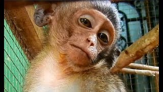 Poor baby Lori sad stay alone in cage play toy instead friends miss milk under warm chest mother .