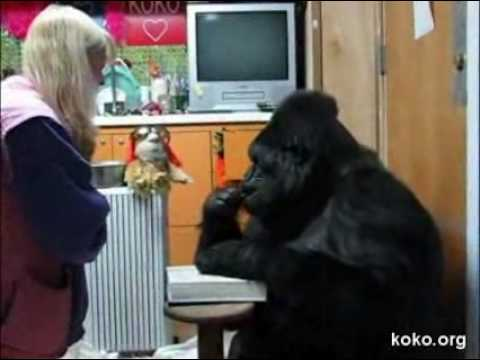 Koko demonstrates levels of awareness similar to humans