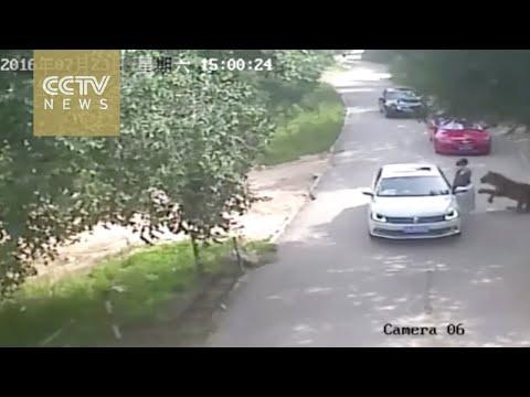 Una mujer murió tras ser atacada por un tigre en un zoo de Pekín