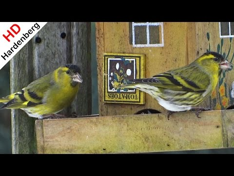 Sijzen - siskin - carduelis spinus - in de tuin. Sony Cyber-shot DSC-HX200. Music Videos