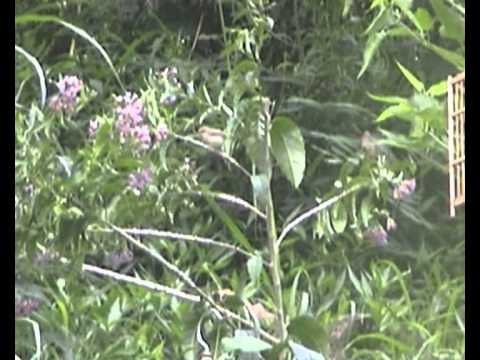 Cara Penjebakan Burung Ciblek | Prenjak Dengan Cepat Dan Mudah video