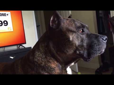Brindle pitbull barking