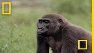 Gorilla vs. Gorilla | National Geographic