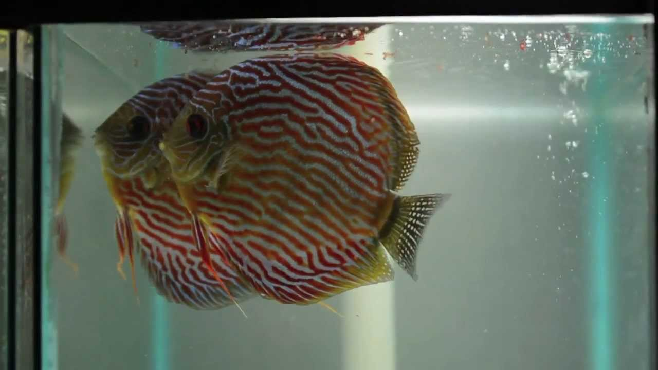 Discus fish for sale rainforest re kenny forrest discus for Live discus fish for sale