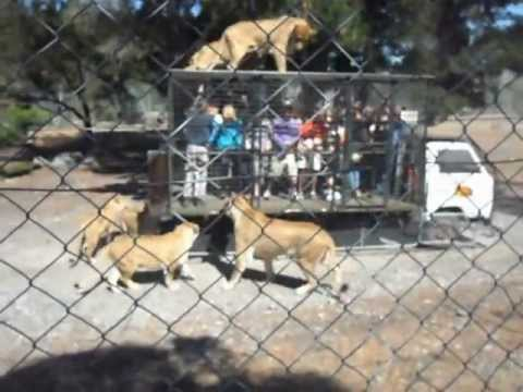 FEMALE LIONS STANDING UP ON VEHICLE FEEDING - ORANA WILDLIFE PARK CHRISTCHURCH NEW ZEALAND