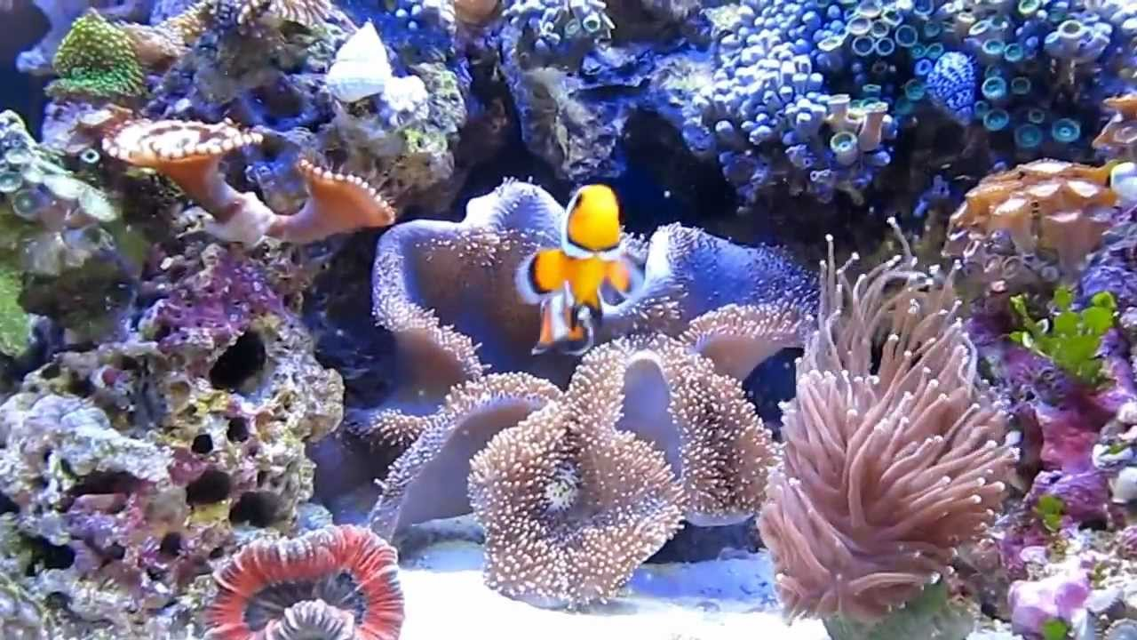 Black Ice Snowflake ClownFish - YouTube