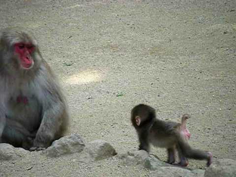 サルの赤ちゃんの歩行練習