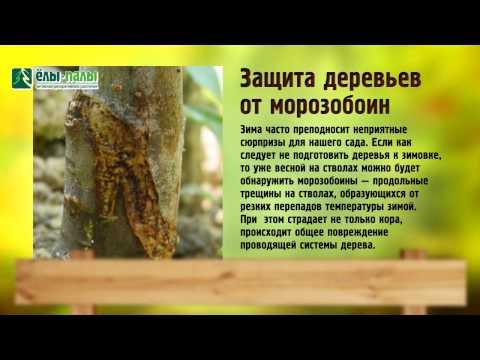 Поражённая цитоспорозом кора западает, отмирает, на границе здоровой и поражённой ткани образуются трещины