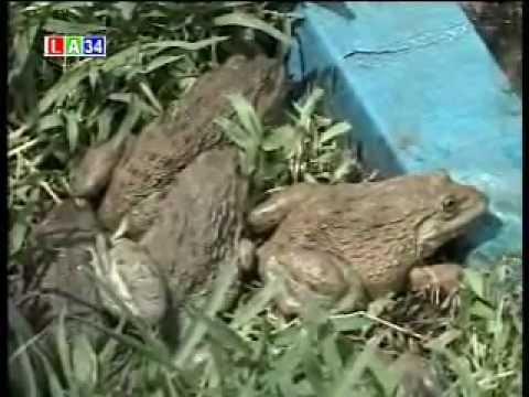 mô hình chăn nuôi ếch thai lan