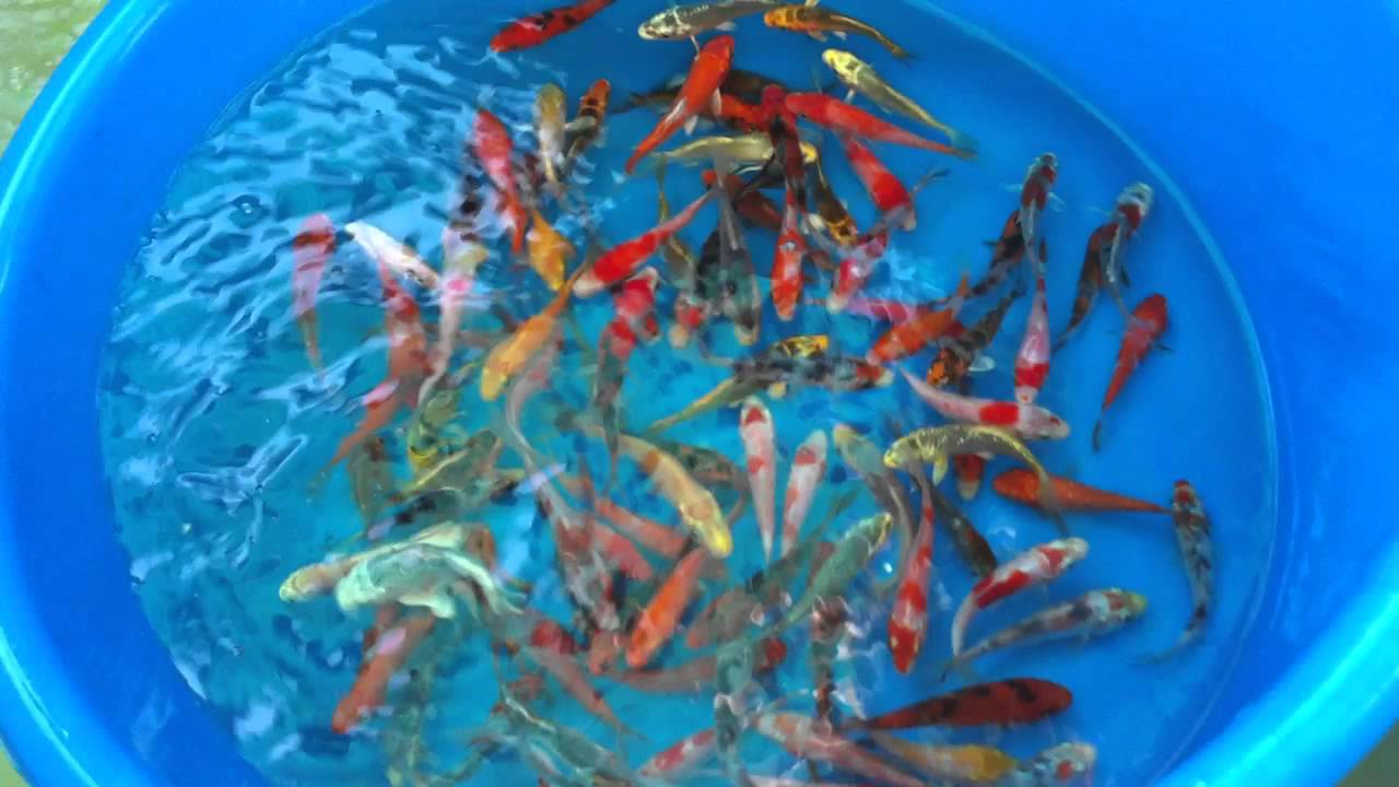 Our koi fish farm 39 s proper acclimation and quarantine for Oldest koi fish