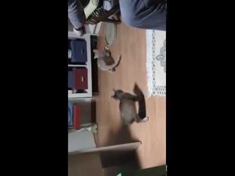 Kedilerin Lazerle Oyunu