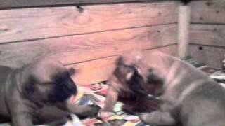 Bady x Vanja puppies (2,5 weeks old)