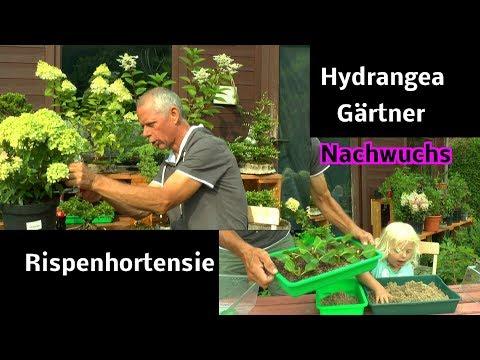 Hortensien Stecklinge machen und weitere Vorgehensweise der bewurzelten Stecklinge allgemein sehen u