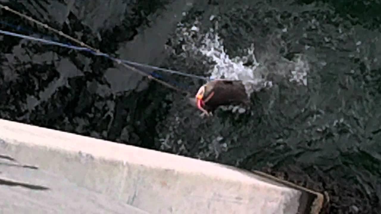 70 lb cobia on okaloosa island pier fort walton beach fl for Fort walton beach fishing