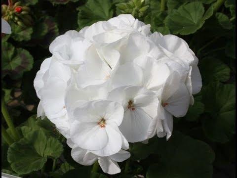 Пеларгония зональная. От посева до цветения. Первая подкормка.