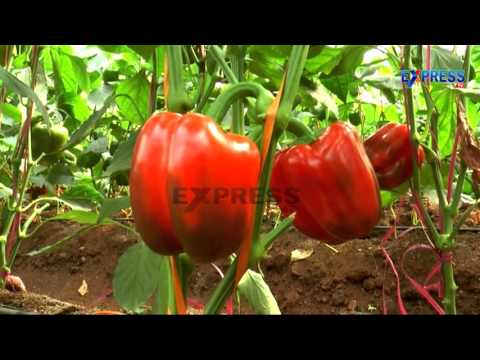 Successful Capsicum farming by Young farmers using Greenhouse Technology - Express TV