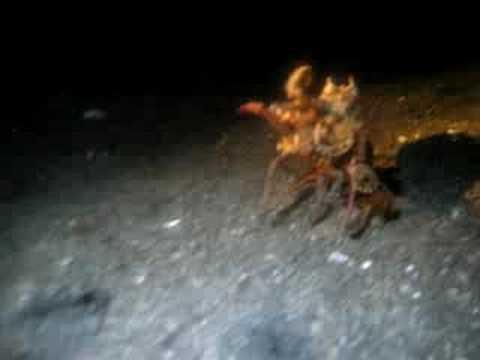 Octopus Eats Crab in Ocean Octopus Eats Crab