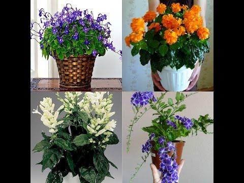 Мои новые растишки/ Комнатные цветы (кроссандра, уайтфельдия, дуранта, стрептокарпелла, руэллия)