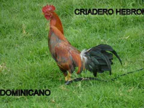 Videos De Postura De Gallos De Pulgada видео ::