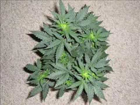 marijuana plants Video