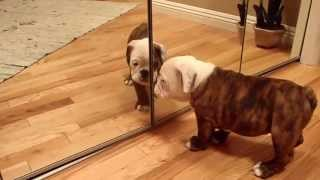 English bulldog mirror