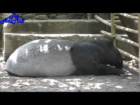 The Biggest Malayan Tapir