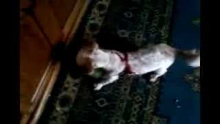 my dog Cody-02 (funny annimals).mp4