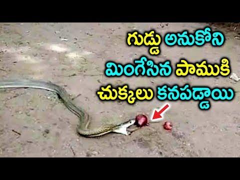 గుడ్డు అనుకోని మింగేసిన పాముకి చుక్కలు కనపడ్డాయి..! || Snake Swallows Onions & Throws Up 11 Onions
