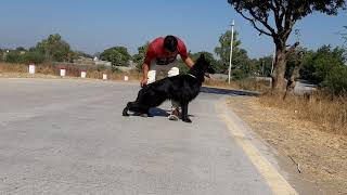 Black gsd puppy  in India