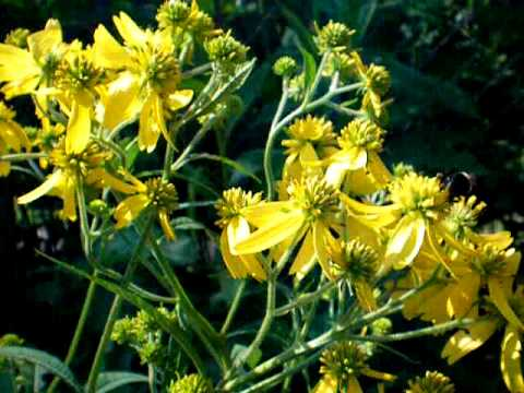 Header of golden ironweed