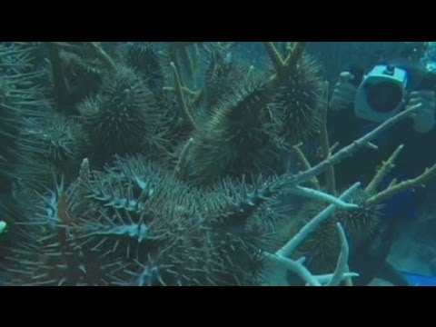 euronews science - Starfish cull will protect Great Barrier Reef