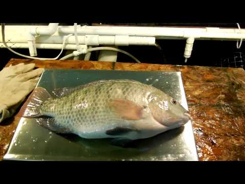 Home Food Production with DIY Small Scale Aquaculture System - Vid # 13