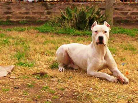 Dogo Argentino  vs pitbull y bull terrier