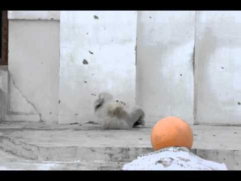 2011年4月11日 円山動物園 足を齧る北極熊の赤ちゃん