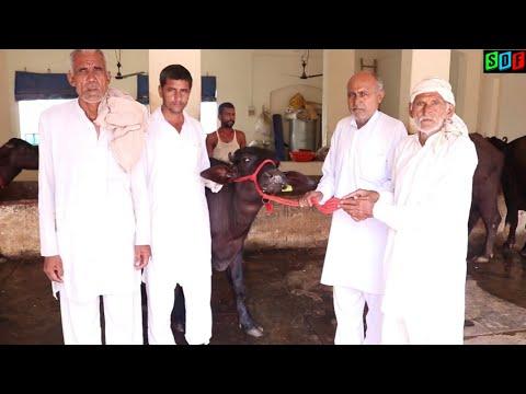 हमारे फ़ार्म से कटड़ा गया एक गाँव की  पंचायत में। Murrah Male Calf with superb bloodline