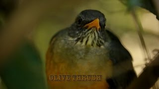 Olive Thrush