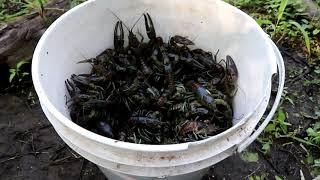 MUDBUGGIN 2019. My best 2 day catch ever. Trapping Crayfish/Crawfish.