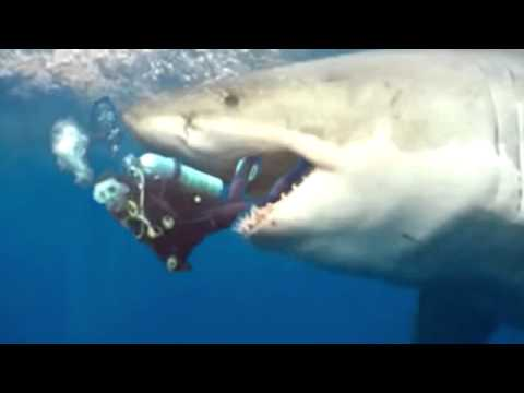 GREAT WHITE SHARK ATTACK! - YouTube