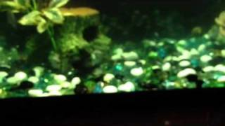 My African and South American Cichlid tank