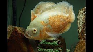 Cá Tai Tượng Châu Phi kỹ thuật nuôi và chăm sóc