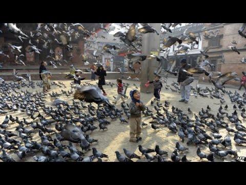 Ternak Merpati Terbesar Di Dunia - Ribuan Merpati Dalam satu Kandang