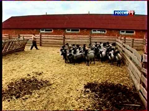 Программа фермерства Романовские овцы