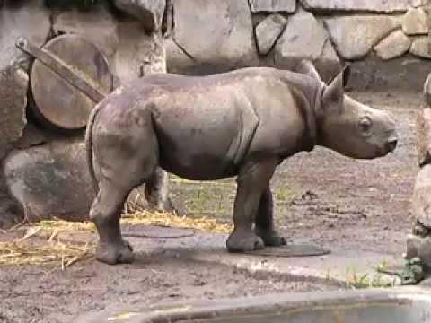クロサイ親子 上野動物園