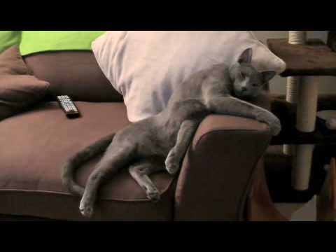 Russian Blue UK Watching a Movie