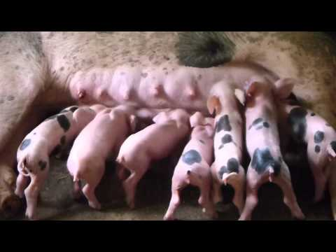 Suckling Piglets