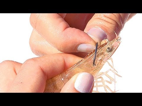 hooking up live shrimp Gulf shrimp gulf shrimp are fresh shrimp can be stored for up to three days after they arrive and frozen can be kept up to four months to thaw frozen shrimp.