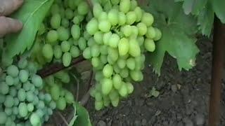 Виноград Урожай. Виноград 2012.
