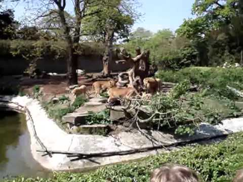 Tiger Eating Horse Lions Eating a Horse