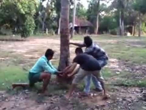 ktys Pulling down an old coconut tree (KUZHUR)
